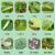 ググヤングシュシュ多肉植物の花卉通用アブラムシ小黒飛虫白薬ピロリン土壌殺虫剤50 g